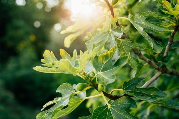 무화과나무 비유